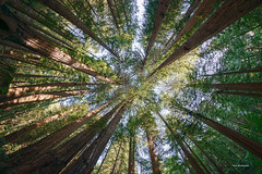 Muir Woods Redwood Forest (davidyuweb) Tags: muir woods redwood forest muirwoodsredwoodforest red redwoods rokinon12mmf28fisheyelens rokinon 12mm f28 fisheye lens