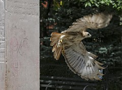 Christo at the General Slocum memorial (Goggla) Tags: nyc new york manhattan east village tompkins square park urban wildlife bird raptor red tail hawk adult male christo molt molting general slocum disaster memorial