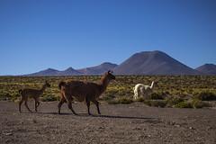 Andean elegance! (Cecilia A) Tags: guanacos toursalardetara vicuñas llamas atacama andes desertodeatacama canon canont3i canon600d ©ceciliaa