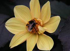 Bumblebee . A visitor in our garden! (Uhlenhorst) Tags: 2016 germany deutschland bavaria bayern flowers blumen plants pflanzen blossoms blüten animals tiere