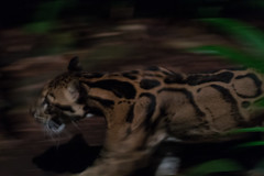 Clouded leopard (Neofelis nebulosa) (tik_tok) Tags: singapore singaporezoo nightsafari asia cloudedleopard neofelisnebulosa animal night