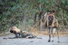 DT-153 (Photography by Brian Lauer) Tags: botswana dumatau africa safari safaris wildlife travel nikonphotography nikon lion elephant hippo fisheagle saddlebilledstork piedkingfisher lilacbreastedroller wilddog