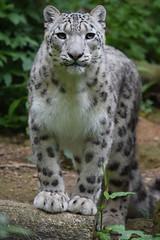 Junga @ Doué la Fontaine 11-05-2016 (Maxime de Boer) Tags: junga snow leopard sneeuwluipaard sneeuwpanter uncia big cats katachigen bioparc zoo doué la fontaine france animals dieren dierentuin