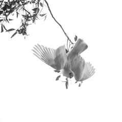 IMP1611C+_BW (simone.chen) Tags: white black birds branch blank cockatoo gumtreeflowers