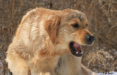 It's Mud Time! (Diane Marshman) Tags: dog brown nature season fur golden spring weeds mud pennsylvania tan large retriever dirty dude pa blonde breed northeast thedude the