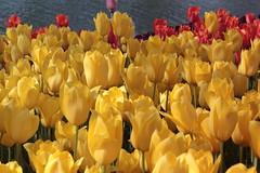 _MG_4329 (Gkmen Kmrt) Tags: flower tulip 2015 emirgan laleler