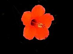 red & black ~ S640 (Shein Die) Tags: flower black nature red macro blossom bloom blacksky plants