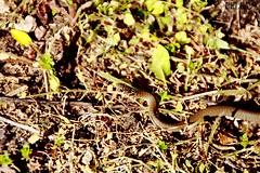 BISCIA (lella 92) Tags: colors natura campagna colori animali animale biscia