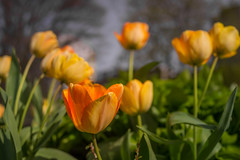 vancouver_orangetulips_rx1r_srgb (alexcorll) Tags: ocean city flowers sunset canada nature coffee architecture night vancouver zeiss 35mm buildings landscape restaurant spring bc pacific britishcolumbia wildlife sony lifestyle pacificnorthwest englishbay f2 westend sonnar carlzeiss f20 rx1 rx1r