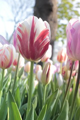 _MG_4290 (Gkmen Kmrt) Tags: flower tulip 2015 emirgan laleler