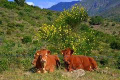 Vaques, Colera, les Alberes. by Angela Llop, on Flickr