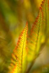 Fern (Overtherainbow changes to KV Photography) Tags: fern kapradi ferns wodland forest green kvphotography katerinavodrazkova priroda nature flowers kvetiny macro dendrologickazahrada pruhonice