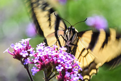 Butterfly fluttering (jeff's pixels) Tags: nature beauty butterfly insect moth fluttering