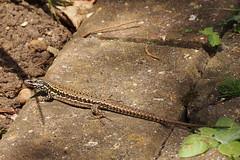2016.07.014 Abbotsbury (134) (Kotatsu Neko 808) Tags: uk england gardens dorset subtropical abbotsbury commonlizard abbotsburysubtropicalgardens