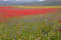 La nebbia lascia il posto al colore (Ale*66*) Tags: red italy colors yellow landscape blu giallo poppies rosso colori paesaggio umbria papaveri castelluccio montisibillini canon6d fioritura2016