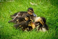 Junge Enten / young Ducks (R.O. - Fotografie) Tags: baby bird nature water up closeup lumix wasser jung close sweet outdoor natur bad young meadow wiese ducks panasonic enten vgel sss fz 1000 dmc waterbirds wasservgel kurpark driburg fz1000 dmcfz1000