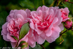 Pink rose (Bernsteindrache7) Tags: pink flower garden landscape flora blossom outdoor sony bloom blume