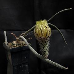 Astrophytum caput-medusae '211' (Pequenos Electrodomésticos) Tags: cactus cacto flower flor graft enxerto astrophytum astrophytumcaputmedusae