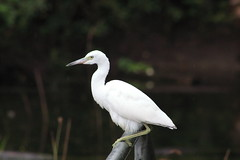 IMG_2441 (im2fast4u2c) Tags: bird great egret animal wildlife