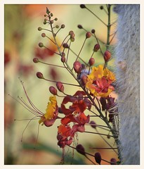 Red Bird of Paradise Fireworks (gauchocat) Tags: arizonasonoradesertmuseum tucsonarizona