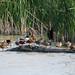 Ducks on a Log (Estero Llano Grande SP)