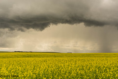 #64 - Under the Weather (Keeperofthezoo) Tags: summer canada storm beautiful field rain weather clouds landscape outdoors scenery farm scenic farmland alberta crops thunderstorm prairie agriculture agricultural canola undertheweather summerstorm