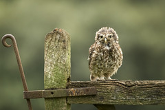 Bad hair day (pixellesley) Tags: littleowl athenenoctua bird female moulting moult feathers perching gate summer animal mammal mother character wild wildlife lesleygooding