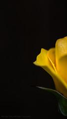 Negative Space (iPhilFlash) Tags: richmond britishcolumbia canada ca rose flora flower fineart garrypointpark yellow steveston negativespace black background
