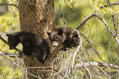 Can you see her {Explored} (ChicagoBob46) Tags: blackbear bear cub cubs coy cuboftheyear yellowstone yellowstonenationalpark nature wildlife explore explored