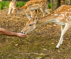 Feeding the Deer (Dubspotter2015) Tags: dublin deer park phoenix ireland wildlife wild animals beautiful creatures young healthy tagged canon 6d 70200 tress spots spotted
