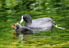 Parent and chick Coot. (pstone646) Tags: green nature water birds animal fauna river kent adult wildlife chick coot stour