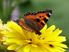 Tortoiseshell butterfly with Calendula (Kniphofia) Tags: butterfly tortoiseshell calendula