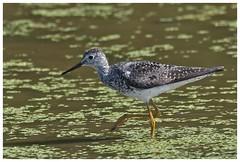 Lesser Yellowlegs  (Rodolfo Quinio) Tags: lesseryellowlegs nikond500 swanharborfarm havredegracemd harfordcounty bird shorebird wader nature wildlife marsh wetlands