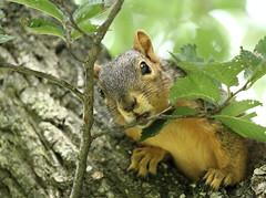 Squirrel, Morton Arboretum. 356 (EOS) (Mega-Magpie) Tags: canon eos 60d nature squirrel outdoors tree leaf branch green the morton arboretum lisle dupage il illinois usa america wildlife