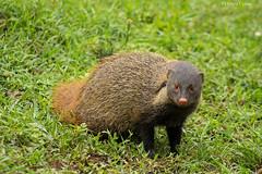 Stripe Necked Mongoose (Deepu Cyriac) Tags: animals travel bandipurnp bandipur bandipurwildlifesanctuary bandipurtr mongoose stripeneckedmongoose westernghats wildlife nature