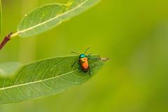 7K8A3888 (rpealit) Tags: scenery wildlife nature east hatchery alumni field hackettstown leaf dogbane beetle