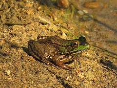 Green Frog (Photos by the Swamper) Tags: amphibians frogs greenfrog