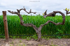 Found Love in the Barossa Valley :) (Sharon Wills) Tags: love heart heartshape vineyard vine yard shoots newgrowth barossa valley south australia australian agriculture industry wine wineindustry grapes growing growth