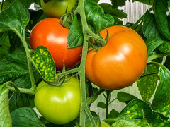 Summer is delicious (++sepp++) Tags: garten natur solanumlycopersicum tomate tomato nature garden gemse vegetables