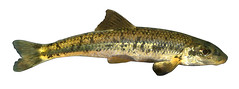 Gravel Chub (NYS Department of Environmental Conservation) Tags: nysdec nysdepartmentofenvironmentalconservation inland fish freshwater