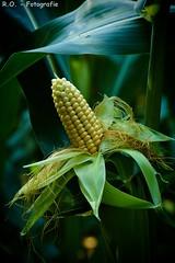 Mais / Corn (R.O. - Fotografie) Tags: mais corn natur nature gelb yellow outdoor panasonic lumix dmcfz1000 dmc fz1000 fz 1000 closeup cose up