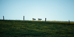 The two calves (Lux Obscura) Tags: calf calves sunset field yellow flowers may spring vegan duet sweetnessoflive nature simple cow fences