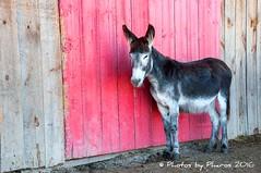 Primrose Donkey Sanctuary, ON (Julie H. Ferguson (Photos by Pharos)) Tags: canada ontario cobourg donkeys mules rescueanimals primrosedonkeysanctuary barndoor