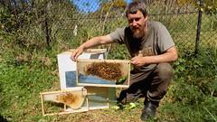 SP-H3 beehive brood inspection - Spring 2016 (nicephotog) Tags: apiary bee apis mellifera european honey grame hive comb wax brood larvae worker nurse beekeeping beekeeper inspection