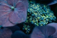 Blaumeister (Garret Voight) Tags: flowers blue plants como green nature minnesota garden zoo conservatory seeds hydrangea wilderness sunken saintpaul marjoriemcneely blaumeister