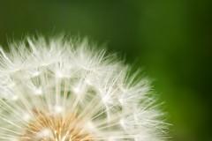 OMD01207 (Keishi Etoh rough-and-ready photoglaph) Tags: flower olympus omd olympusmzuikodigitaled60mmf28macro microfourthirds olympusomdem1 120mm 中望遠 中望遠マクロ em1 単焦点 primelens fixedfocallengthlens