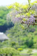 20150425113836_0047_SLT-A99V (iLoveLilyD) Tags: flower japan prime sony yokohama fullframe stf 2015 minoltaamount α99 slta99v ilovelilyd sal135f28t45stf