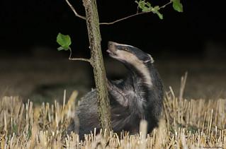 Badger Magic