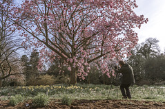 Man vs Magnolia (ross.colgan) Tags: flowers tree nature garden giant spring photographer blossom sony wide national trust bloom magnolia alpha versus nymans nex nex6 sel20f28