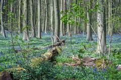 Hallerbos (Jan Moons) Tags: nikon blauw 85mm nikkor bos hyacinth bloem hallerbos d600 nikond600